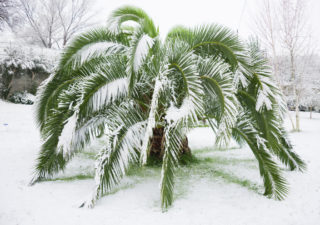 green palm trees covered with snow in unusually cold winter